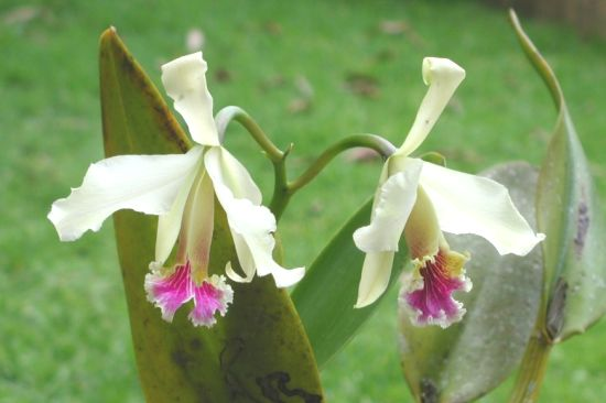 Photo of Cattleya Rex - the Moyobamba orchid - Peru - picture of two orchids